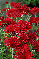 Five Alarm Red Chrysanthemum (Chrysanthemum 'Five Alarm Red') at Town And Country Gardens