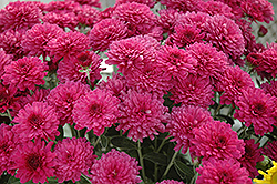 Beth Chrysanthemum (Chrysanthemum 'Beth') at Town And Country Gardens