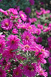 Alert Aster (Aster novi-belgii 'Alert') at Town And Country Gardens