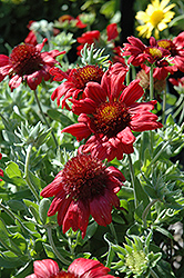 Sunburst Burgundy Blanket Flower (Gaillardia x grandiflora 'Sunburst Burgundy') at Town And Country Gardens
