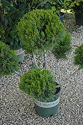 Mint Julep Juniper (pom pom) (Juniperus chinensis 'Mint Julep (pom pom)') at Town And Country Gardens