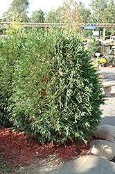Techny Globe Arborvitae (Thuja occidentalis 'Techny Globe') at Town And Country Gardens