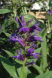 Grape Knee-Hi Lobelia (Lobelia 'Grape Knee-Hi') at Town And Country Gardens