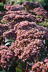 Maestro Stonecrop (Sedum 'Maestro') at Town And Country Gardens