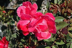 Pink Knock Out® Rose (Rosa 'Radcon') at Town And Country Gardens