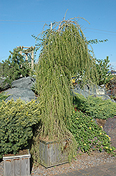 Puli Weeping Larch (Larix decidua 'Puli') at Town And Country Gardens