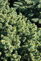 Lanham's Beehive Spruce (Picea abies 'Lanham's Beehive') at Town And Country Gardens