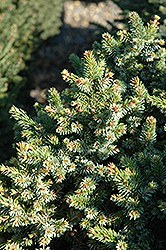 Pimoko Spruce (Picea omorika 'Pimoko') at Town And Country Gardens