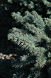 Waldbrunn Blue Spruce (Picea pungens 'Waldbrunn') at Town And Country Gardens