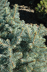 Sester Dwarf Blue Spruce (Picea pungens 'Sester Dwarf') at Town And Country Gardens
