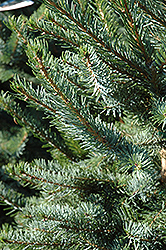Bruns Spruce (Picea omorika 'Bruns') at Town And Country Gardens