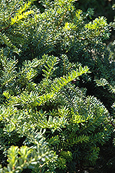 Emerald Spreader Yew (Taxus cuspidata 'Emerald Spreader') at Town And Country Gardens