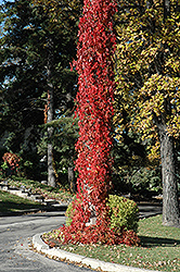 Virginia Creeper (Parthenocissus quinquefolia) at Town And Country Gardens