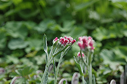 Red Pussytoes (Antennaria dioica 'Rubra') at Town And Country Gardens