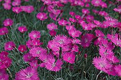 Firewitch Pinks (Dianthus gratianopolitanus 'Firewitch') at Town And Country Gardens