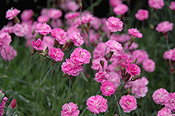 Tiny Rubies Dwarf Mat Pinks (Dianthus gratianopolitanus 'Tiny Rubies') at Town And Country Gardens