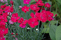 Neon Star Pinks (Dianthus 'Neon Star') at Town And Country Gardens