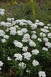 Purity Candytuft (Iberis sempervirens 'Purity') at Town And Country Gardens