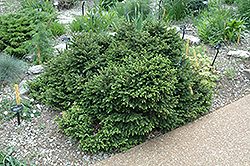 Pumila Norway Spruce (Picea abies 'Pumila') at Town And Country Gardens