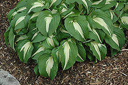 Night Before Christmas Hosta (Hosta 'Night Before Christmas') at Town And Country Gardens