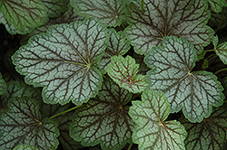 Green Spice Coral Bells (Heuchera 'Green Spice') at Town And Country Gardens