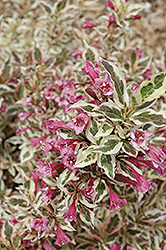 My Monet® Weigela (Weigela florida 'Verweig') at Town And Country Gardens