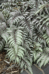 Pewter Lace Painted Fern (Athyrium nipponicum 'Pewter Lace') at Town And Country Gardens