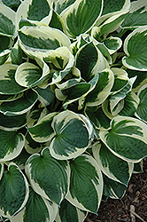 Patriot Hosta (Hosta 'Patriot') at Town And Country Gardens
