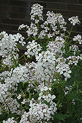 Dame's Rocket (Hesperis matronalis) at Town And Country Gardens