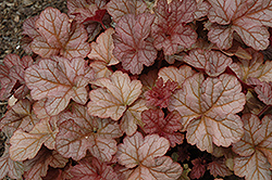 Pinot Gris Coral Bells (Heuchera 'Pinot Gris') at Town And Country Gardens