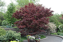 Bloodgood Japanese Maple (Acer palmatum 'Bloodgood') at Town And Country Gardens