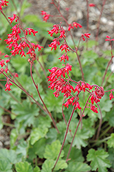 Ruby Bells Coral Bells (Heuchera sanguinea 'Ruby Bells') at Town And Country Gardens