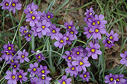 Lucerne Blue-Eyed Grass (Sisyrinchium angustifolium 'Lucerne') at Town And Country Gardens