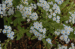 Everblooming Forget-Me-Not (Myosotis scorpioides 'Semperflorens') at Town And Country Gardens