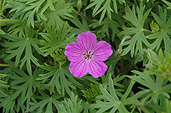 Tiny Monster Cranesbill (Geranium 'Tiny Monster') at Town And Country Gardens