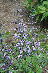 Purple Smoke False Indigo (Baptisia 'Purple Smoke') at Town And Country Gardens