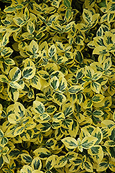 Emerald 'n' Gold Wintercreeper (Euonymus fortunei 'Emerald 'n' Gold') at Town And Country Gardens