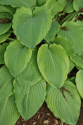 Key Lime Pie Hosta (Hosta 'Key Lime Pie') at Town And Country Gardens