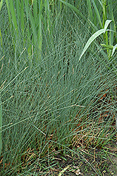 Soft Rush (Juncus inflexus) at Town And Country Gardens