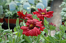 Sunset™ Burgundy Blanket Flower (Gaillardia x grandiflora 'Sunset Burgundy') at Town And Country Gardens