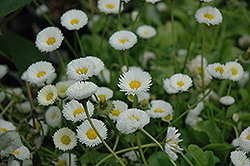 Rominette White English Daisy (Bellis perennis 'Rominette White') at Town And Country Gardens