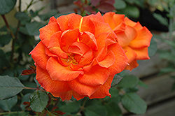 Gingersnap Rose (Rosa 'Gingersnap') at Town And Country Gardens