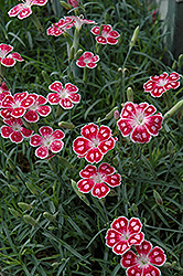 Spotty Pinks (Dianthus 'Spotty') at Town And Country Gardens