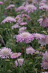 Pink Mist Pincushion Flower (Scabiosa 'Pink Mist') at Town And Country Gardens