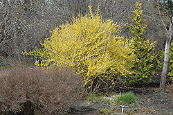 Northern Gold Forsythia (Forsythia 'Northern Gold') at Town And Country Gardens