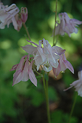 McKana Pink Columbine (Aquilegia 'McKana Pink') at Town And Country Gardens