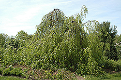 Weeping Beech (Fagus sylvatica 'Pendula') at Town And Country Gardens