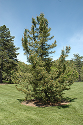 Japanese Black Pine (Pinus thunbergii) at Town And Country Gardens