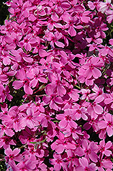 Red Wings Moss Phlox (Phlox subulata 'Red Wings') at Town And Country Gardens