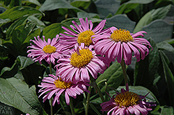 Pinkie Alpine Aster (Aster alpinus 'Pinkie') at Town And Country Gardens